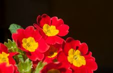 Free Red Primula Flower Stock Images - 32206234