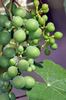 Free Bunch Of Green Grapes Royalty Free Stock Image - 32206796