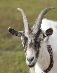 Free Goat. Royalty Free Stock Photos - 32209638