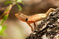 Free Brown Asian Lizard Hang On Tree Stock Images - 32211004