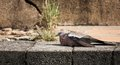 Free Pigeon Rest On The Floor Stock Image - 32211031