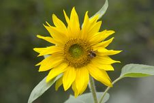 Free Sunflower. Stock Photos - 32213803