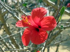 Free Hibiscus Royalty Free Stock Photos - 32214508