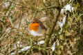 Free European Robin Royalty Free Stock Photo - 32222455
