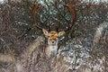 Free Fallow Deer Royalty Free Stock Photos - 32222458