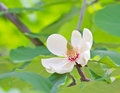 Free Magnolia In Bloom Royalty Free Stock Photos - 32226268