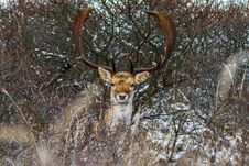 Free Fallow Deer Royalty Free Stock Photos - 32222458
