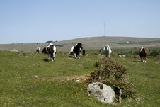 Free Hessary Tor With Dartmoor Ponies Stock Images - 32222944