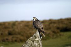 Perched Raptor, The Gyr Saker Falcon Stock Photo