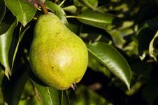 Free Green Pear Royalty Free Stock Photography - 32231477
