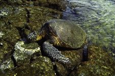 Free Sea Turtle Stock Images - 32231904