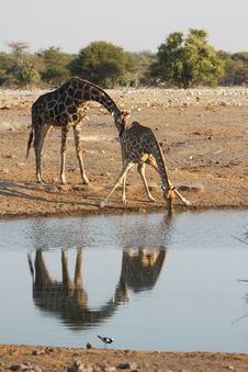 Free Two Giraffes Royalty Free Stock Photos - 32235718
