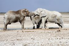 Free Elephants Playing Royalty Free Stock Photo - 32235745