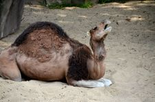 Free Camel Stock Photography - 32237122