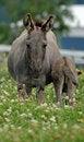 Free Miniature Donkeys Royalty Free Stock Image - 32241596