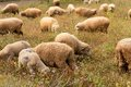 Free Lambs Grazing In A Green Field Stock Photography - 32248822