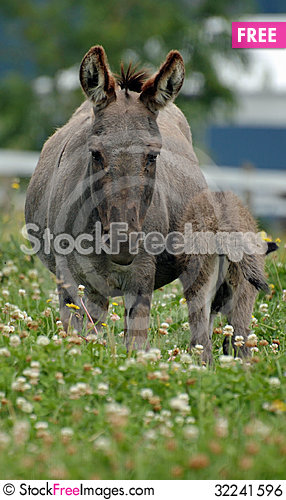 Free Miniature Donkeys Royalty Free Stock Image - 32241596