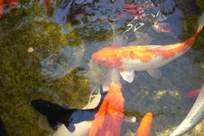 Free Koi Pond Royalty Free Stock Images - 32240379