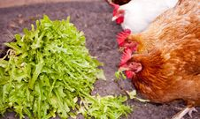 Free Chickens Eating Lettuce Stock Photo - 32240380