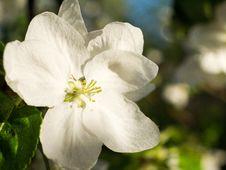 Free Apple Blossom Stock Photos - 32245883