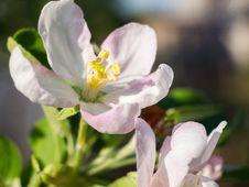 Free Apple Blossom Royalty Free Stock Photo - 32245885