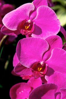 Free Blossom Violet Vanda Orchid Stock Photos - 32248673