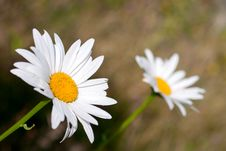 Free Daisies Royalty Free Stock Image - 32251726