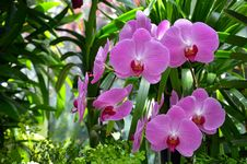 Free Beautiful Pink Moth Orchids Stock Photos - 32253163