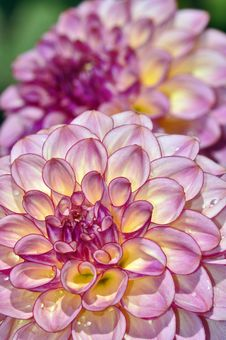 Free Pink Dahlia Royalty Free Stock Images - 32253209