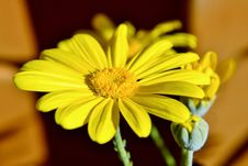 Free Yellow Daisy Stock Photography - 32254452