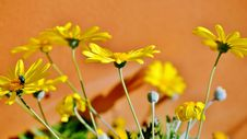 Free Yellow Daisy Stock Images - 32254474