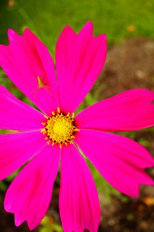 Free Hot Pink Cosmos And Bright Green Bug And Grass Royalty Free Stock Photo - 32258705