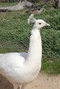 Free Female White Peacock Royalty Free Stock Photos - 32263078