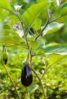 Free Eggplant Royalty Free Stock Photos - 32260918
