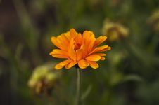 Free Marigold Flower Stock Photography - 32262602