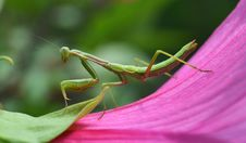 Free Mantis Insect Stock Photos - 32262953