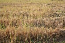 Free Rice Field After Reap Royalty Free Stock Photos - 32266348