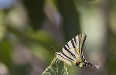 Free Butterfly On Leaf &x28;Iphiclides Podalirius&x29; Royalty Free Stock Images - 32266409