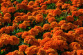 Free Marigold In The Garden Royalty Free Stock Image - 32270716