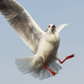 Free Flying Seagull Stock Photo - 32277040