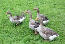 Free Four Geese On The Meadow Stock Photo - 32272390