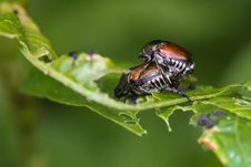 Free Mating Japanese Beetles Stock Photography - 32272812