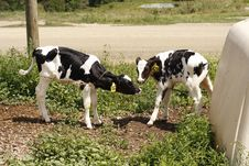 Free Baby Cows Kiss Stock Image - 32275901