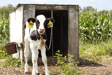 Free Dairy Farm Royalty Free Stock Images - 32275919