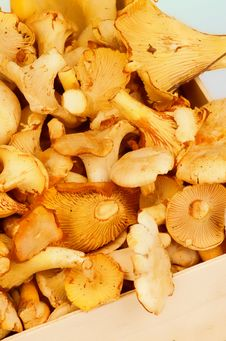 Free Golden Chanterelles Stock Image - 32283611