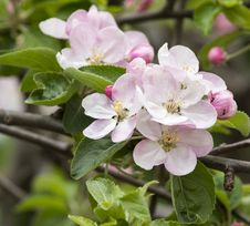 Free Flower Of Apple Royalty Free Stock Photos - 32288528
