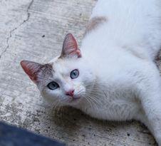 Free White Cat Royalty Free Stock Photo - 32288535