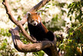 Free Red Panda Stock Images - 32291374
