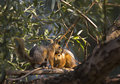 Free Two Squirrels On The Tree Royalty Free Stock Photo - 32292355