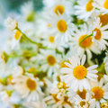 Free White Camomiles Royalty Free Stock Photo - 32297855